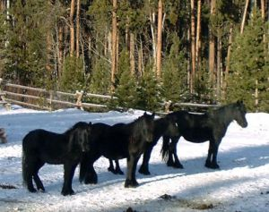 Willowtrail Farm Fell Ponies